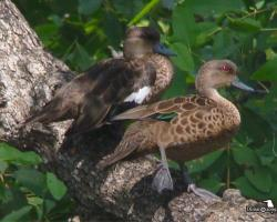 Anas gibberifrons-Fehértorkú réce